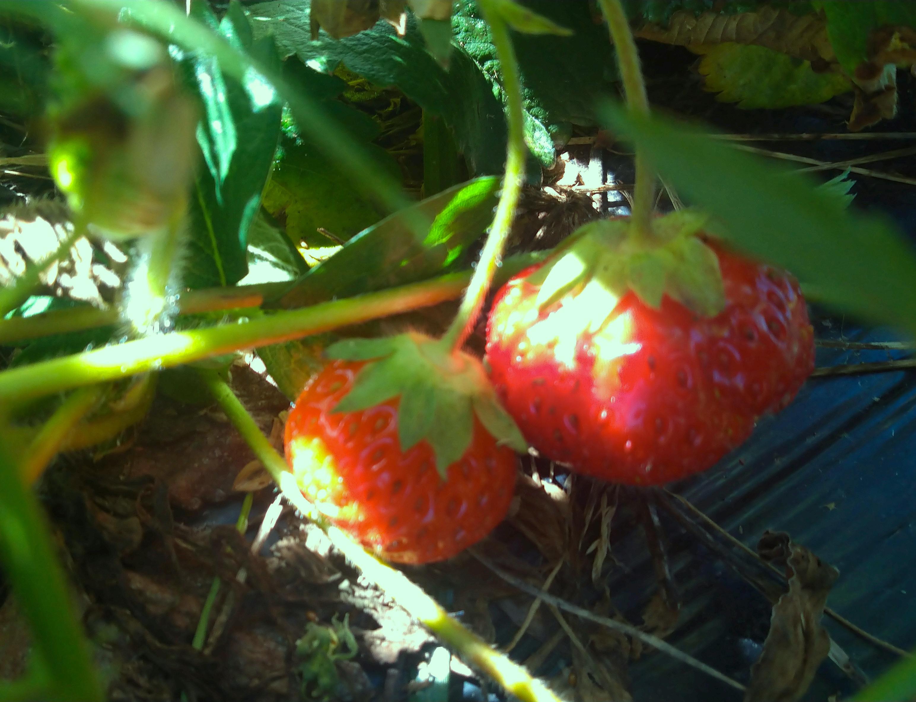 Happy pair of strawberries